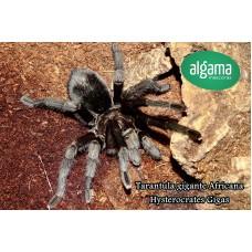 Tarántula Gigante Africana - Hysterocrates gigas