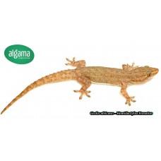 Gecko africano - Hemidactylus Frenatus