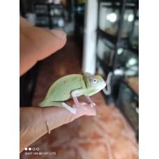 Camaleon del Yemen Pied - Chamaeleo calyptratus