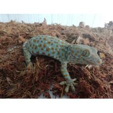 Gecko Tokay con certificado nacimiento en cautividad
