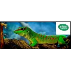 Phelsumas - Geckos diurnos