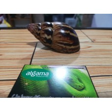 Caracol Gigante Adornado - Achatina Adelinae