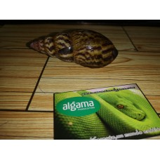 Caracol Gigante (Achatina Marginata)
