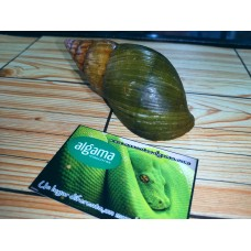 Caracol gigante verde del Congo
