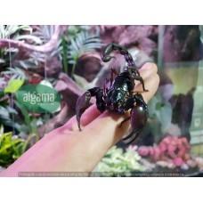 Escorpión Gigante - Heterometrus Longimanus