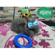 Conejo enano Angora