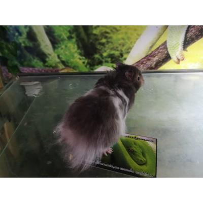 Hamster de angora - Mesocricetus auratus