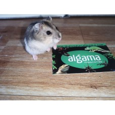 Hamster enano ruso - Phodopus sungorus