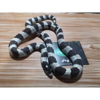 Falsa Coral - Lampropeltis Californiae