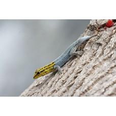 Gecko arborícola multicolor