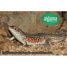 Lagarto acorazado adornado - zonosaurus ornatus