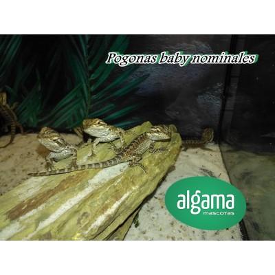 Pogona vitticeps - Dragón Barbudo. Fase: Nominal
