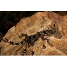 Gecko de Bandas