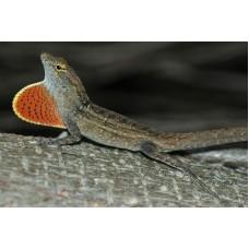 Anolis Marrón de la Bahamas - Anolis Sagrei