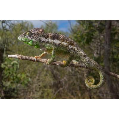 Camaleón Furcifer verrucosus - (Camaleón verrugoso)