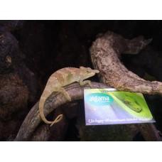 Camaleón de dos cuernos - Kinyongia boehmei