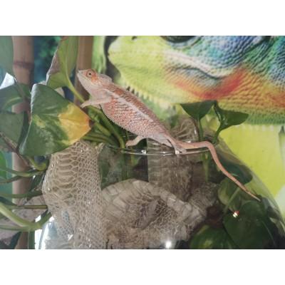 Pareja de Camaleón Pantera - Furcifer Pardalis (Talla mediana)