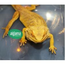 Dragón Barbudo - Pogona Amarilla adulta