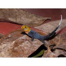 Gecko cabeza amarilla de Costa Rica