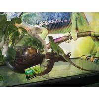 Dragón chino de agua - (Adultos - subadultos)