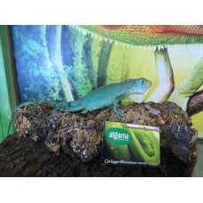 Iguana azul - Blue