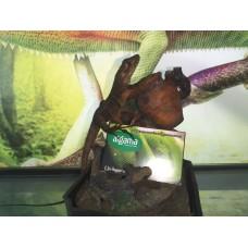 Iguana gigante rayada - Ctenosaura similis
