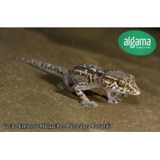 Gecko Espinoso Malgache - Paroedura Bastardi