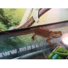 Pogona (Dragon Barbudo Linea Roja) Hembra