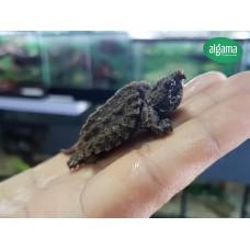 Tortuga Aligátor - Macrochelys temminckii