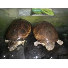 Pareja de Tortugas de caja Africana - Pelosius Castaneus