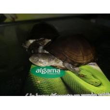 Tortuga Africana Pelomedusa Subrufa (Adultas)