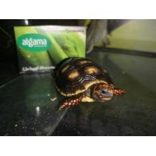 tortuga terrestre de patas rojas - Chelonoidis carbonaria