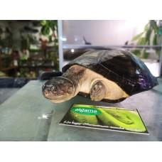 Tortuga de caja Africana (Adultas reproductoras)