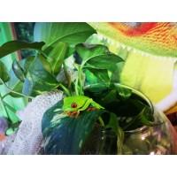 Rana de ojos rojos - Agalychnis callidryas  (ADULTAS REPRODUCTORAS)
