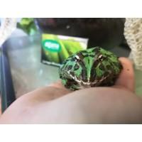 Rana Pacman Verde -  Ceratophrys Cranwelli