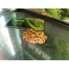 Rana Pacman Burgundy - Ceratophrys cranwelli
