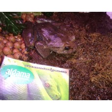 Rana Peluda - Trichobatrachus robustus