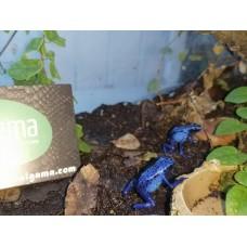 Rana Flecha Azul - Dendrobates azureus