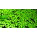 Lenteja de agua (Planta acuatica)