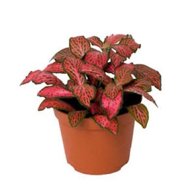 Fittonia Verde & Rosa