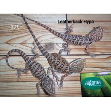 Pogona Leatherback Hypoo