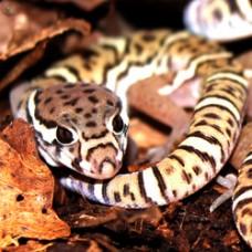 Gecko Leopardo de Costa Rica - Coleonyx mitratus