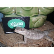 Iguana Malgache Jaspeada - Oplorus Quadrimaculatus