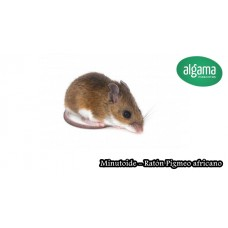 Minutoide (Ratón de pigmeo)