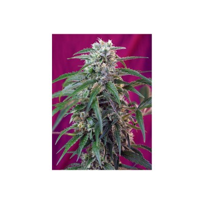Auto Green Poison - Pack de 3+1 Unidades - Sweet Seeds