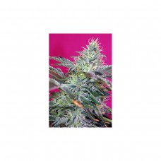 Auto Sweet Cheese - Pack de 3 Unidades - Sweet Seeds